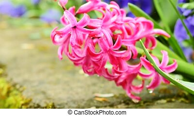 Pink hyacinths close-up. The camera moves back on the slider. Color correction.