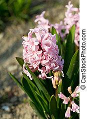 Pink hyacinths in the garden
