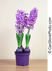 Pink hyacinths on a yellow background