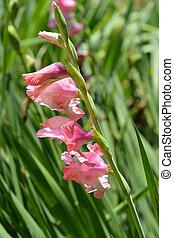 Hybrid Gladiola