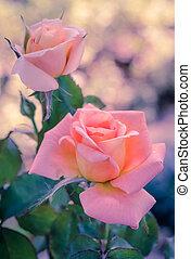 Pink hybrid rose, vintage filter effect