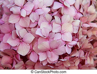 Pink Hydrangea background. Hortensia flowers surface