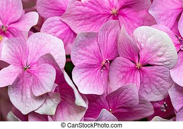 Pink Hydrangea flowers in a garden close up