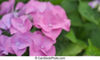 Pink hydrangea on a green background.