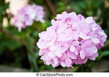Pink hydrangea - Pink bright hydrangea flowers blooming