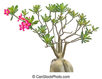 Pink impala lily flower - Little pink impala lily flower ...