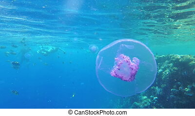 Pink Jellyfish Floating in Clear Blue Water of Red Sea near the Coral Reef. Egypt.