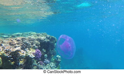 Pink Jellyfish Floating in Clear Blue Water of Red Sea near...