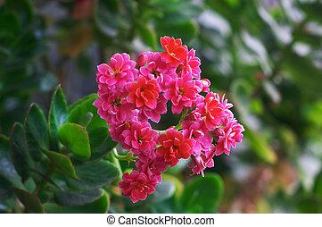 Pink kalanchoe - Pink flowering kalanchoe