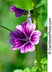 Pink Lavatera or Malva sylvestris flowers in the garden. Blooming Mallow in summer