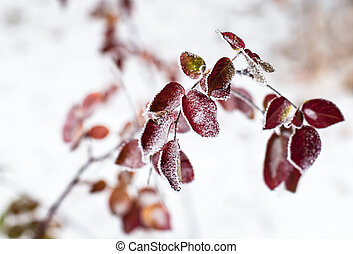 Pink leaves of the dog-rose covered with hoarfrost