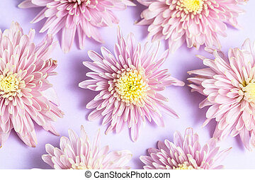 Pink lilac chrysanthemums arrangement on pink lilac background. Flat lay, top view. Floral background.