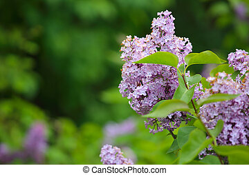 Lilac flowers in spring background