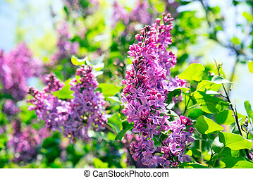 Pink lilac flowers in spring garden on a sunny day