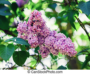 Pink lilac flowers