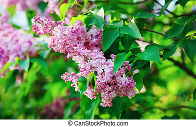 Pink lilac, green leaves