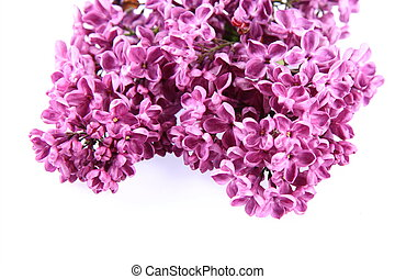Pink lilac