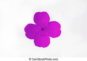 pink lilac single flower with four petals isolated on white background