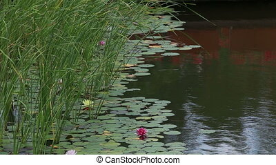 pink lilies and water-lilies