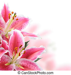 Pink lilies on a white background