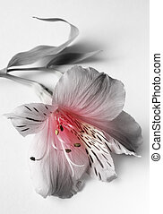 Pink lilies - Pink lilie close-up on a white background