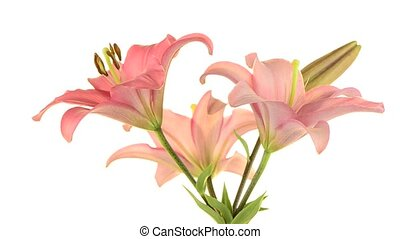 Pink lilies rotating on white background.