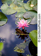 Pink Lilly in Pond