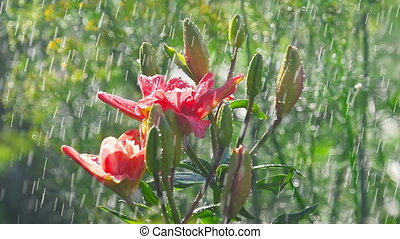 Pink Lily flower under rain