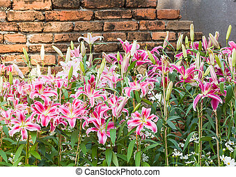 Pink lily flower with old brick wall
