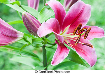 pink lily garden on a sunny day in the garden