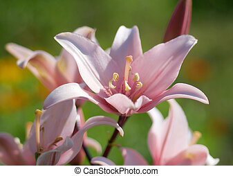 Pink lily in garden