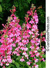 Pink Lobelia flowering at Butchart Gardens