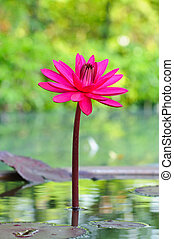 Pink lotus blossoms or water lily flowers blooming on pond ...