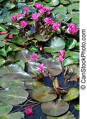 Pink lotus blossoms or water lily flowers in pond