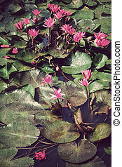 Pink lotus blossoms or water lily flowers in pond, Vintage style