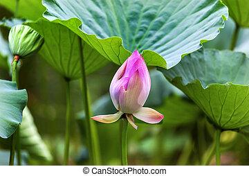 Pink Lotus Bud Close Up Beijing China
