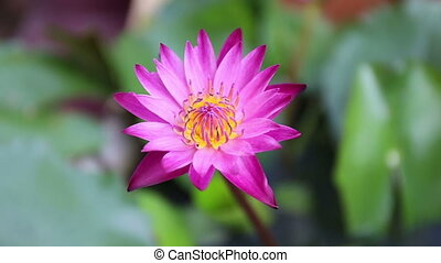 Pink Lotus flower beautiful lotus. Asia is important...