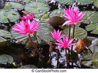 pink lotus flower blooming at summer