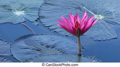 Pink lotus flower blooming in the pond