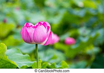 pink lotus flower in full bloom - pink buddha lotus flower...