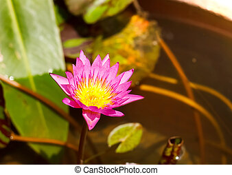 Pink Lotus flower in pond.