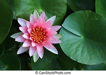 Pink lotus flower in tropical garden