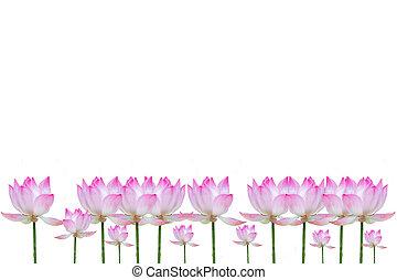 Vietnamese flower white lotus flower vietnamese flower pure white lotus flower mightylinksfo