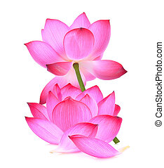 pink lotus flower isolated on white background