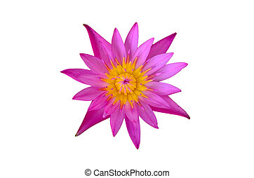 pink lotus flower isolated