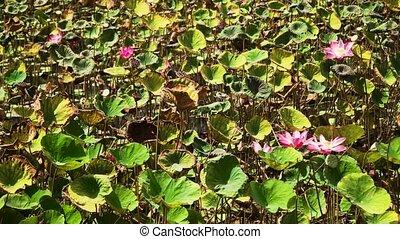 Pink Lotus flower - Pink lotus flower plant on lake. Pink...