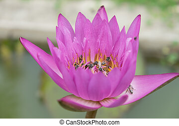 Pink lotus flowers and bee