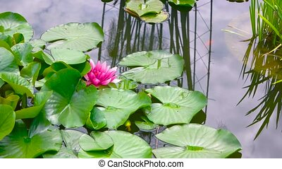 Pink lotus flowers. Green leaves on water. In search of...