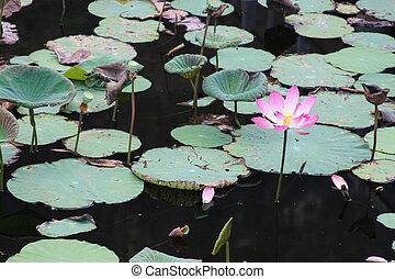 Pink lotus in lake (Lotus is logo of buddhism in asia)
