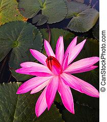 Pink lotus in lake